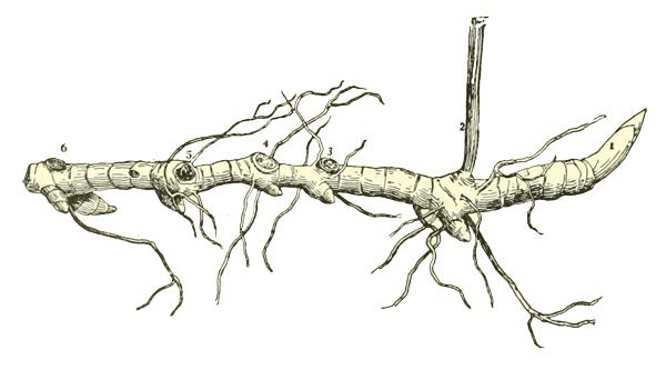Abbildung eines Rhizoms (Wurzelstock)